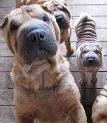 Shar-peis in Goldendale at the time of the rescue in May 2012. Photo by OHS. More photos and video available from OHS upon request.