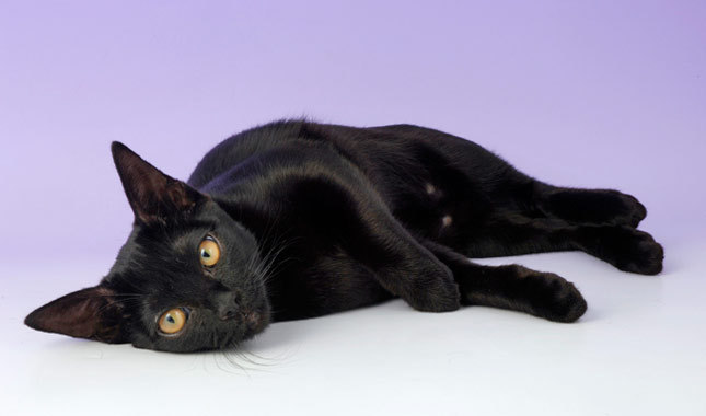 The American Bombay Cat.jpeg