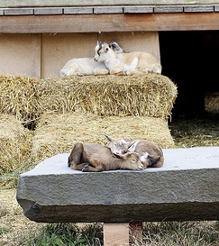 Sleepy baby goats with shed and hay in the background.