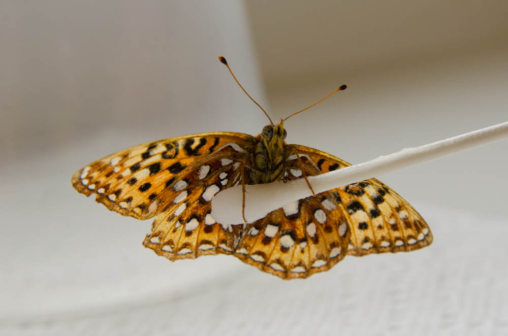 An adult silverspot feeds from a nectar-soaked cotton swab at the zoo's butterfly conservation station. The zoo and its conservation partners this summer released 850 of these rare Northwest beauties at sites along the Oregon coast in an effort to stabilize the declining population. Photo by Michael Durham, courtesy of the Oregon Zoo.