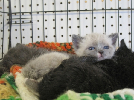 These three kitties were taken in to King's shelter when their mother was found killed by a coyote.