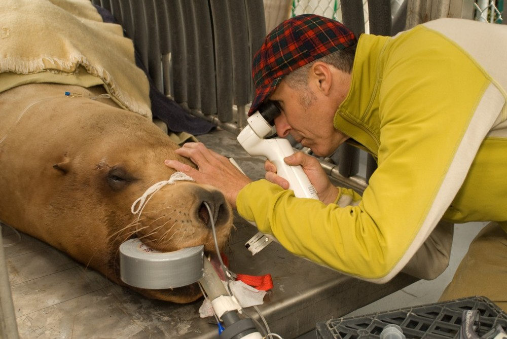 Dr. Scherlie performing an eye exam on Gus at the Oregon Zoo.  Photo courtesy of Oregon Zoo.
