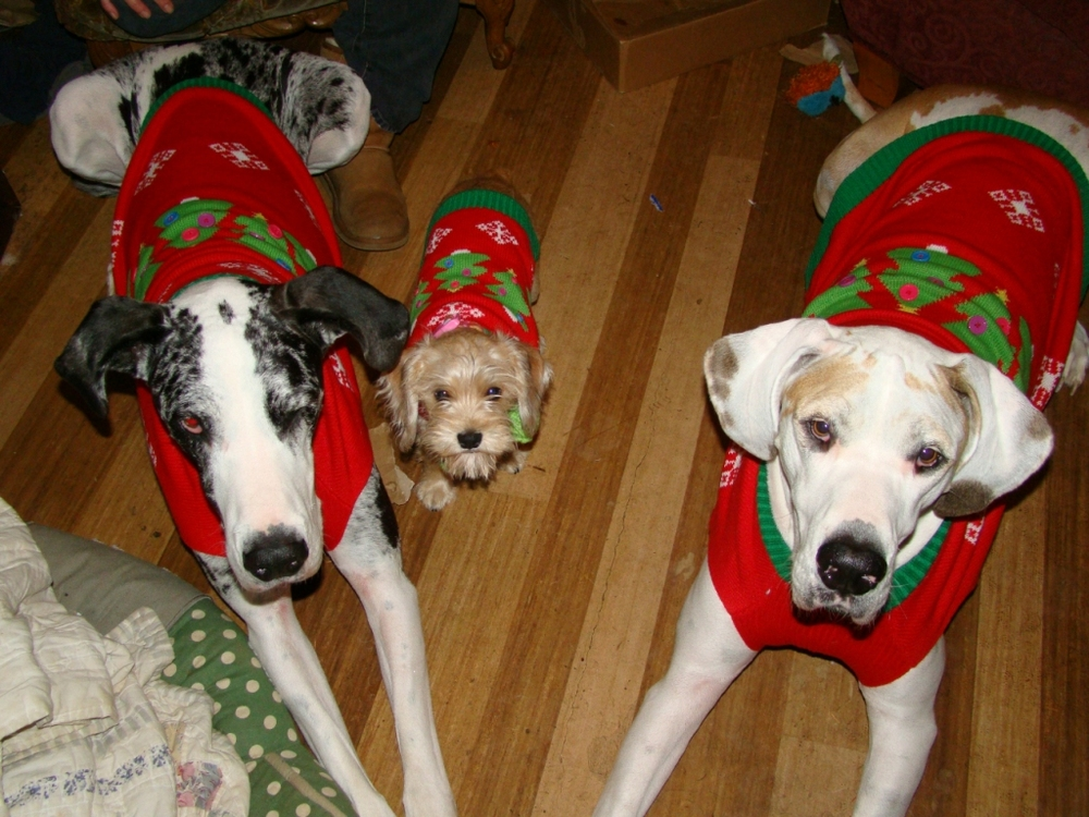 This is from two years ago of my two Danes and little mix guy. We were trying on our sweaters for our annual visit to see Santa. The dogs, from left to right: Marlie (black spots) middle Jake and Fynn (brown spots).  ~ Jenny McKibben