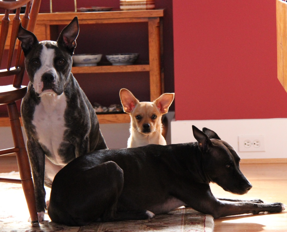 L to R: Otis, Royce, and Gracie lying down