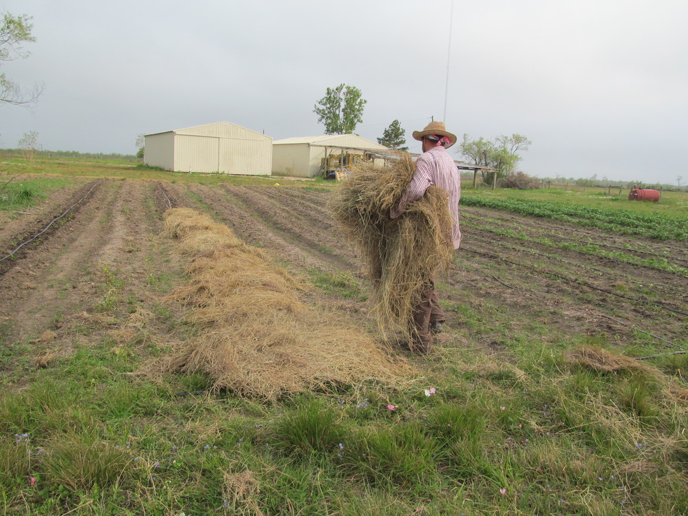 Alex spreading the hay on the bed pre-seedlings. Our hope is the straw bedding will help prevent rot on the melons, which is common even in areas NOT as moist as the coast.