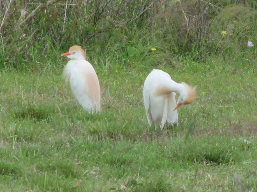Cattle Egrets! I love your style!
