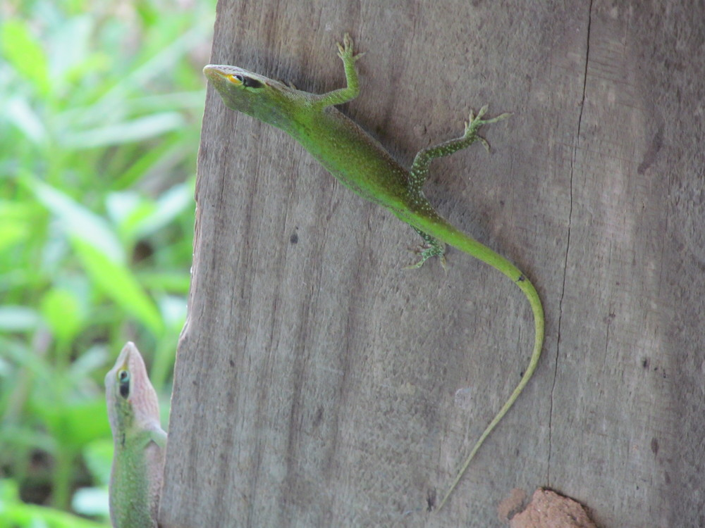 These anole lizards have begun to show up in force in the shady spots as the days get hotter.