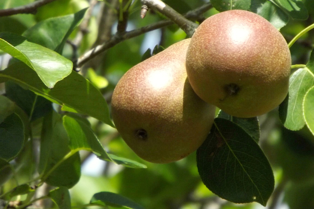 A shot of some of our juicy pears, ripening up for late summer.    (c )Barbara Savant Smith 2013