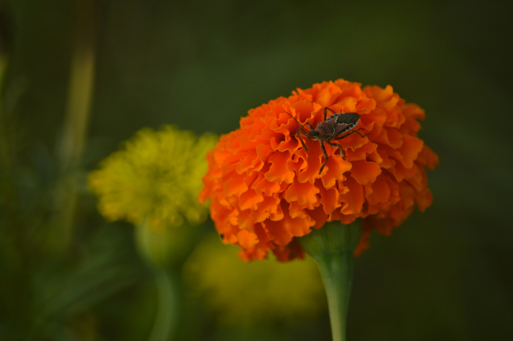 The Assassin Bug, chillin' atop a marigold.  (c) 2013 Peter Chomiki, taken at Moon Dog Farms
