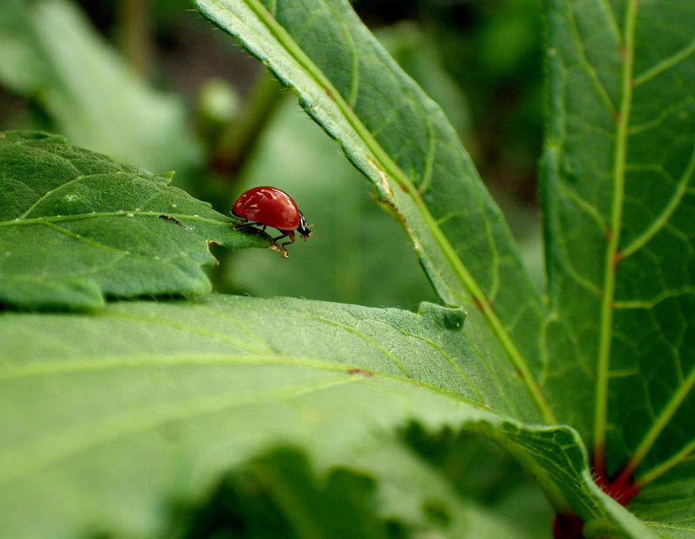 Ladybug, ladybug.  (c) 2013 Hope Wissell, taken at Moon Dog Farms
