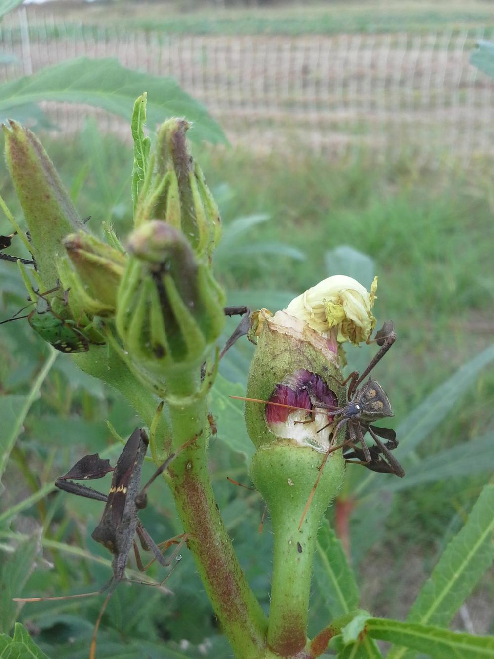 A Texas favorite...stinkbugs. They love okra as much as we do.