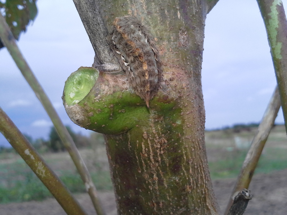 And the piece d' resistance... the Stinging Asp caterpillar. Not harmful to our plants, but causes a nasty blistering rash on human skin if you make contact with its hairs.  Again, these are all over the okra.