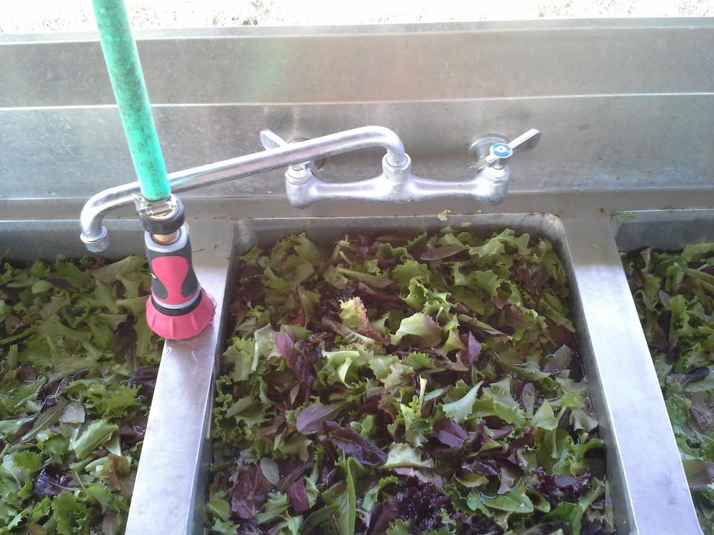 Each of these 3 sinks were filled to bursting with cut salad lettuce, three times over. Imagine many dunkings.