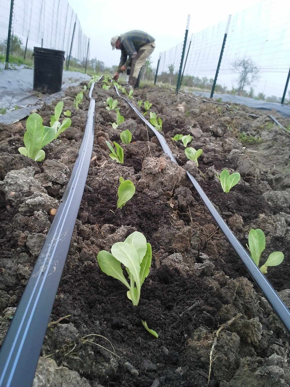 Jericho romaine lettuce, planted on a blustery March day. Hold on, babies!