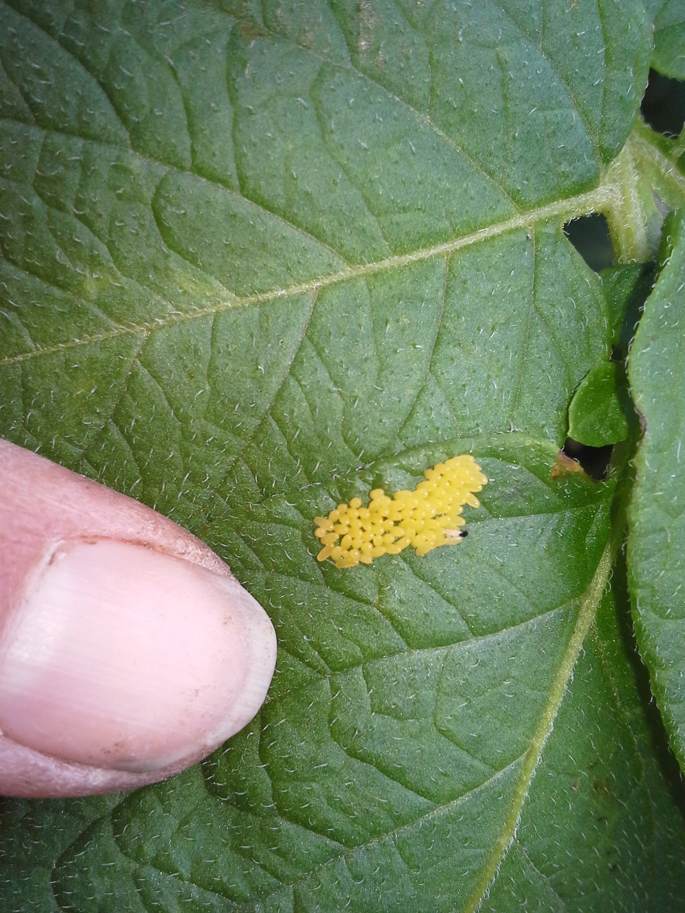Ladybug eggs laid on a potato leaf.