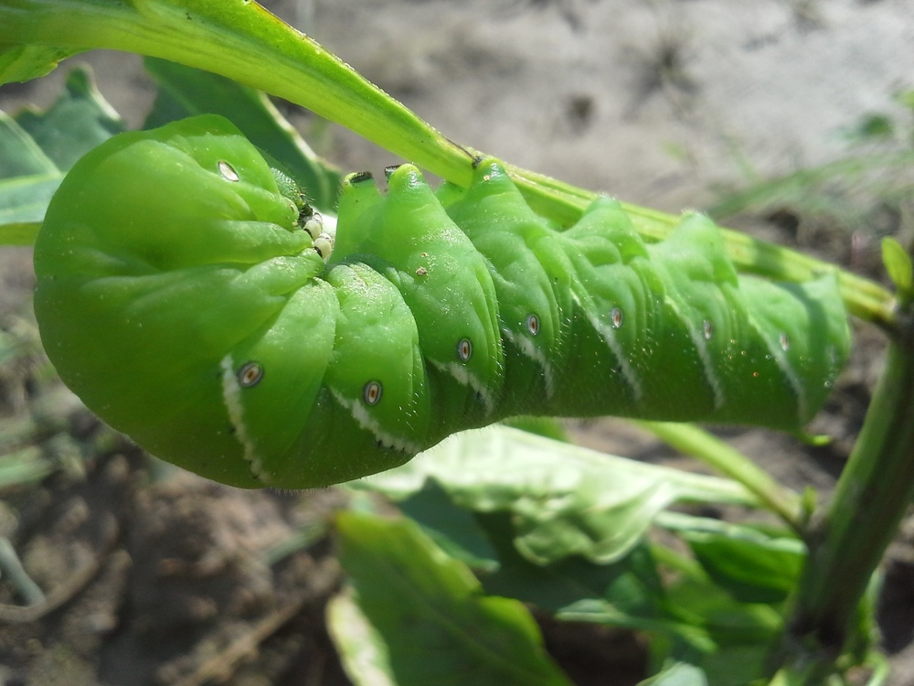 Tobacco Hornworm, just showing off its beautiful colors but gnarly appetite.