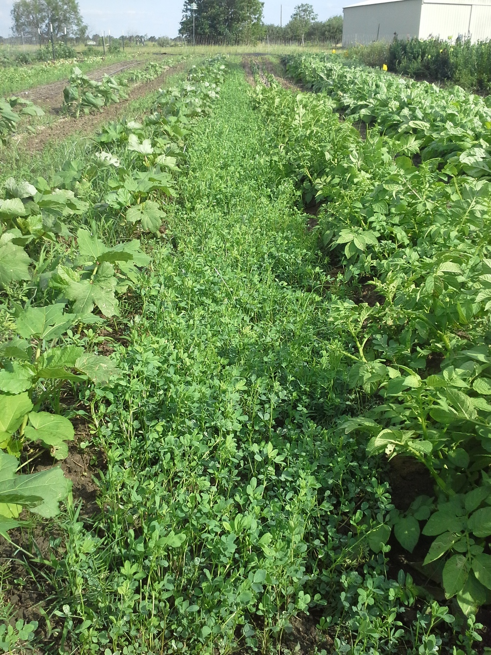 The alfalfa and vetch are going to TOWN in the aisles here between french fingerling potatoes and okra. Hooray!
