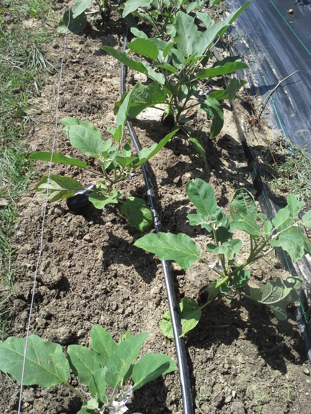You can see the remains of Bahia and Johnson grasses tossed from the freshly-weeded eggplants.