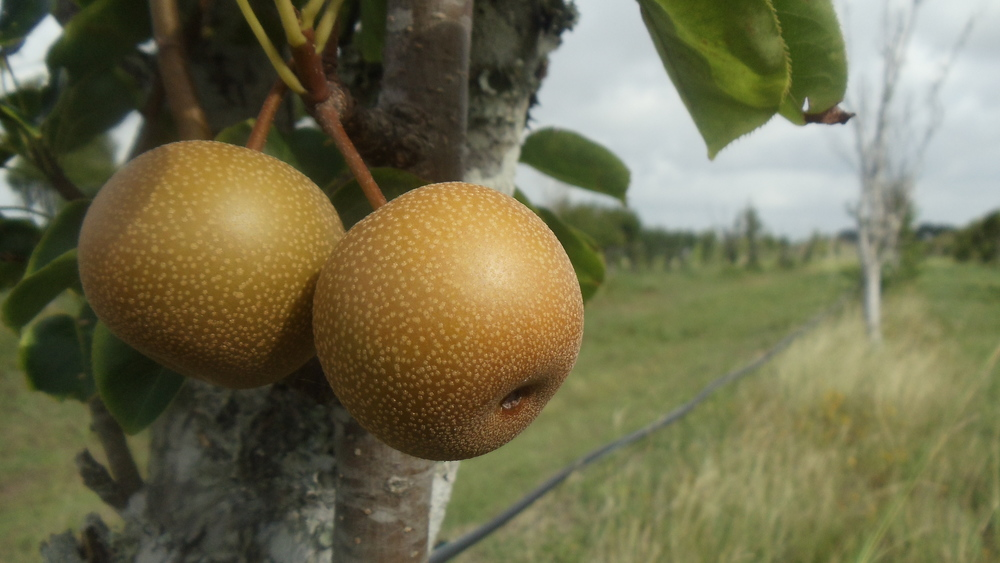 The asian pears plumping up in the orchard. (c) Sara Barrington, 2014