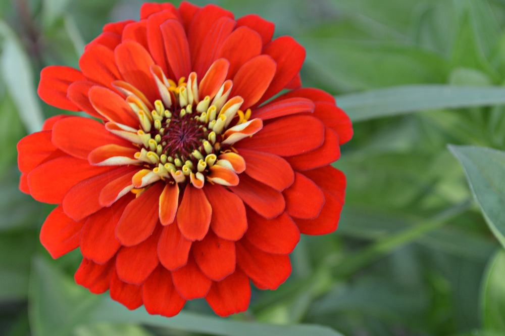 Zinnia! (c) Kathryn Barrington, 2014