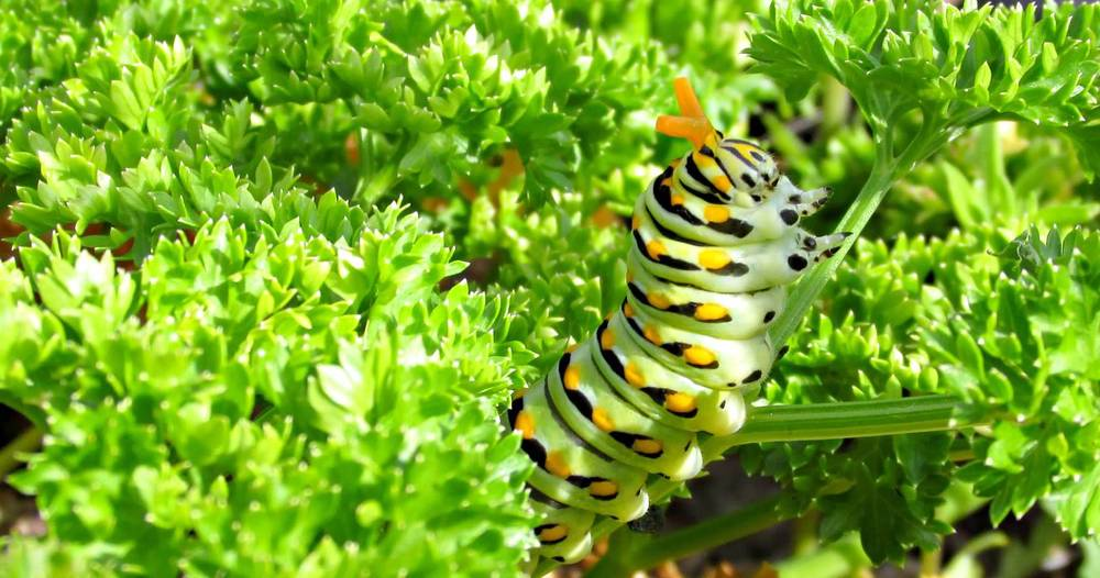 The Black Swallowtail caterpillar shows off its scary orange 'horns' if provoked. In this case, we gently poked its back. (c) Emily Hedrick, 2014