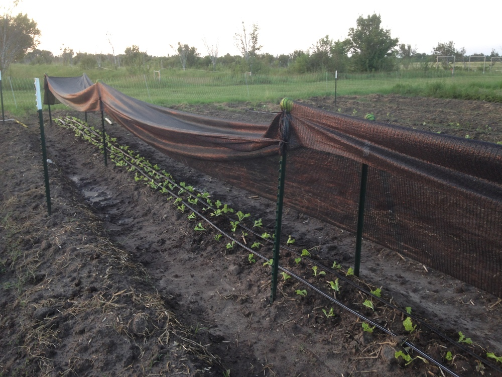 The baby lettuces in our most recent summer trials. Oh, may their shade cloth tent give them relief.