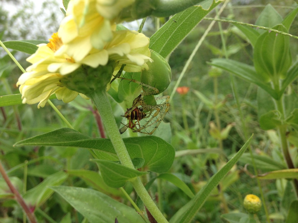 That same green spider with a yellowjacket, snatched from midair.