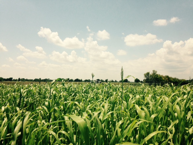The Summer field from last year, lush with Sorghum cover crop on a gorgeous (rare) sunny day several weeks ago.