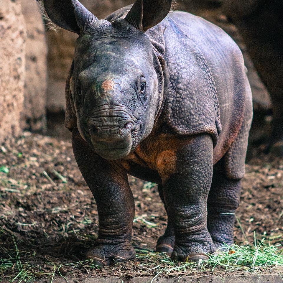 toronto-zoo-rhinoceros-calf.jpg