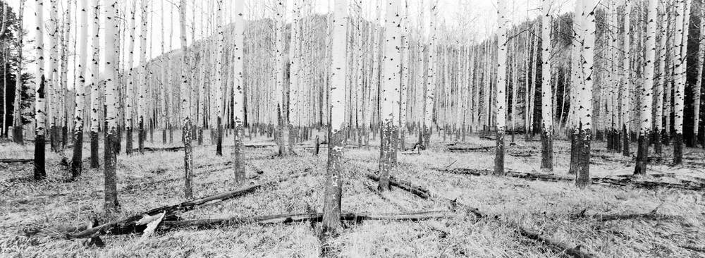 Forest recovering from a fire a couple years ago, Ilford HP5