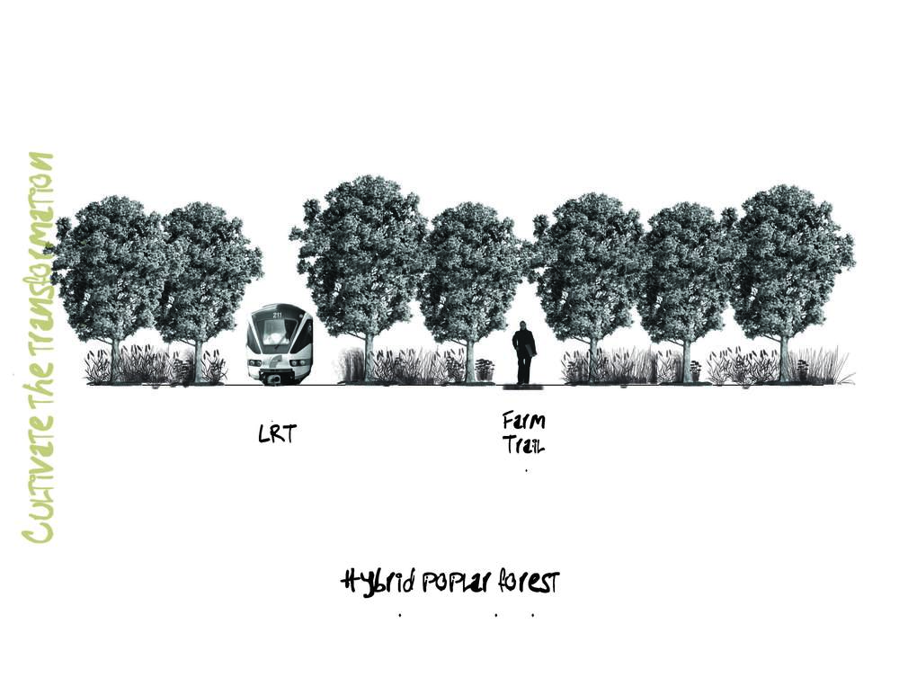 hybrid poplar forest.jpg