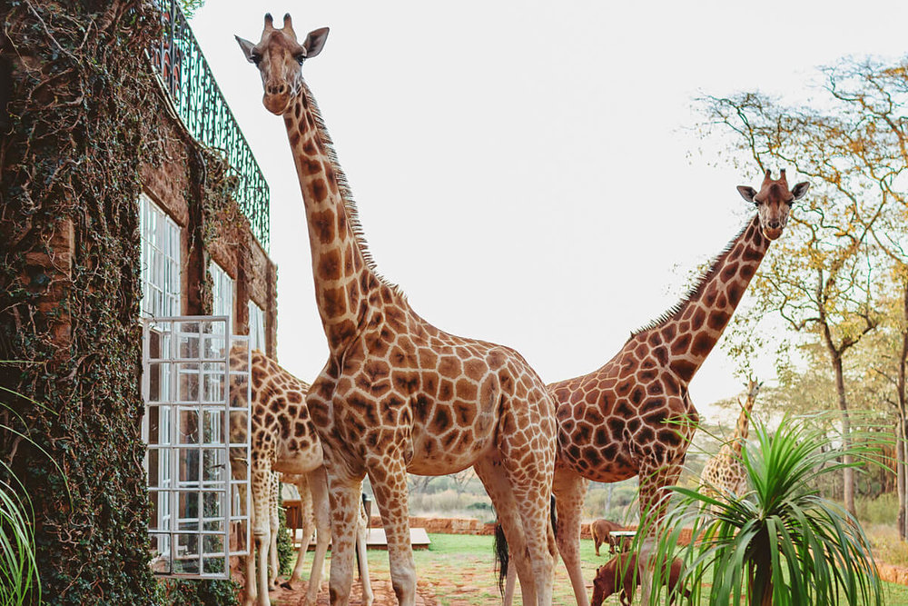 Giraffe Manor Nairobi Destination Engagement Photographer 00003.JPG