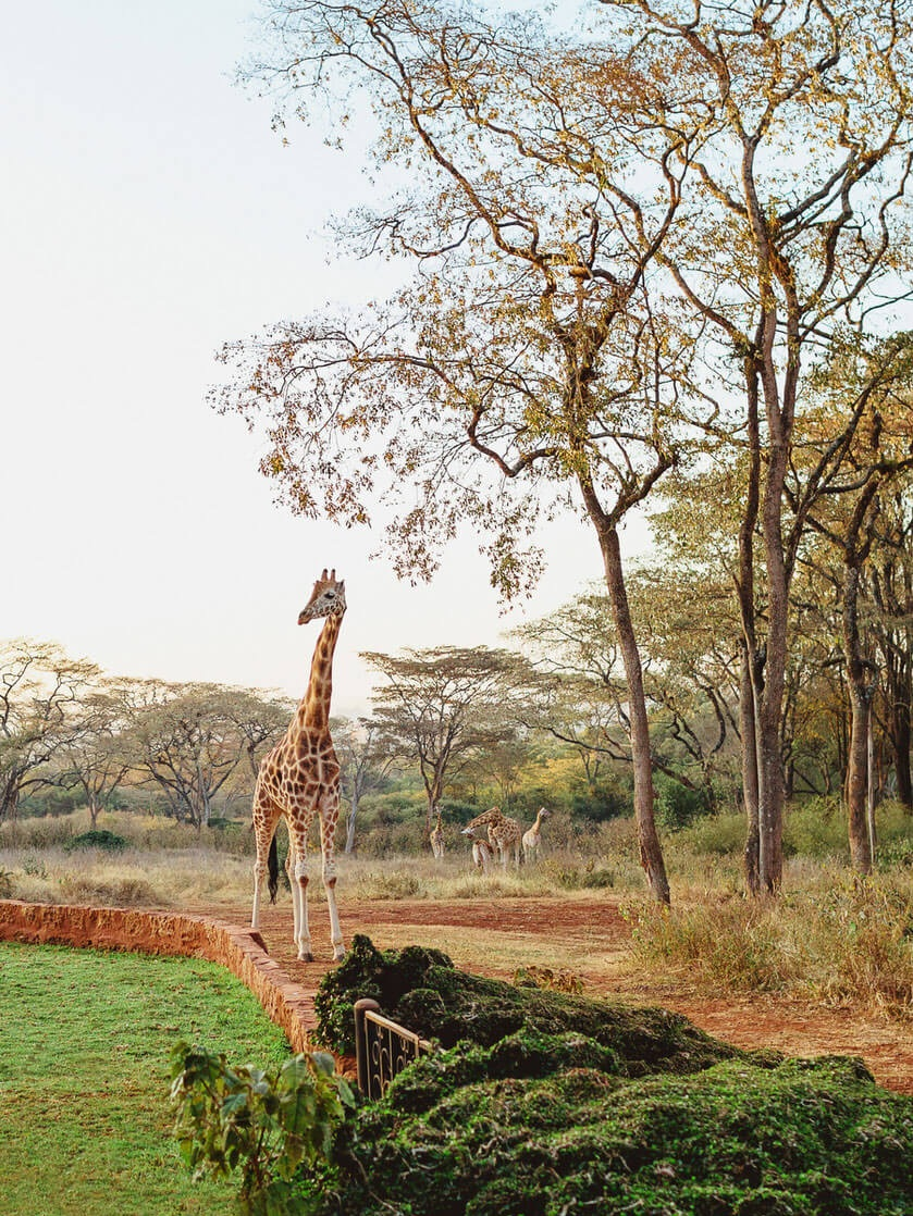 Giraffe+Manor+Nairobi+Destination+Engagement+Photographer
