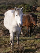 170px-Setley_plain_ponies_new_forest.jpg