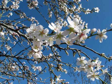 Apfelinblüten.jpg