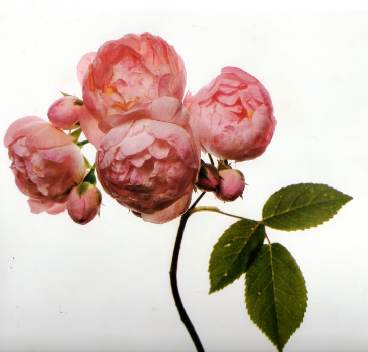 Irving-Penn_Flower_4-720x689.jpg