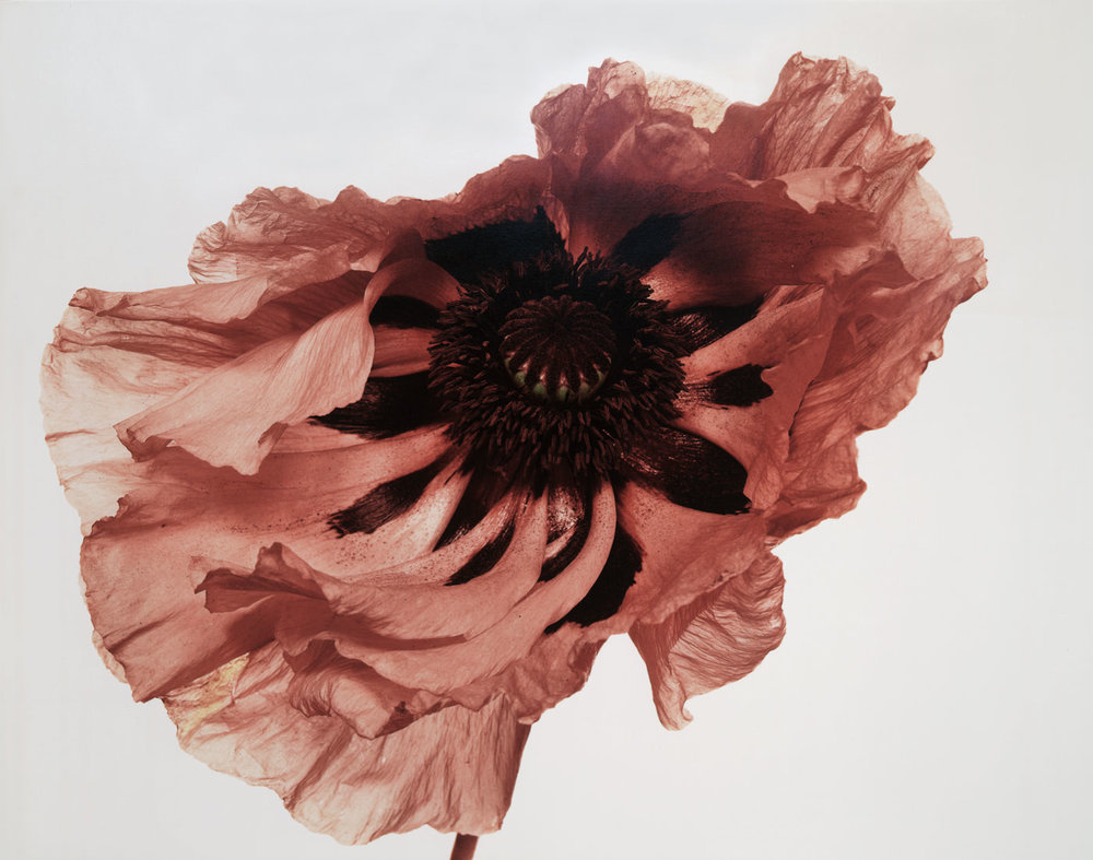 Irving-Penn_Flower_7.jpg