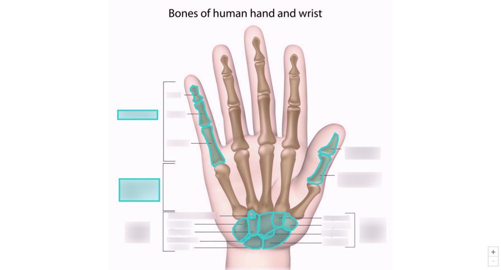 Hand and Wrist Bones