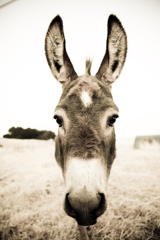 Sonoma Mtn Donkey ©2017 Lisa Berman