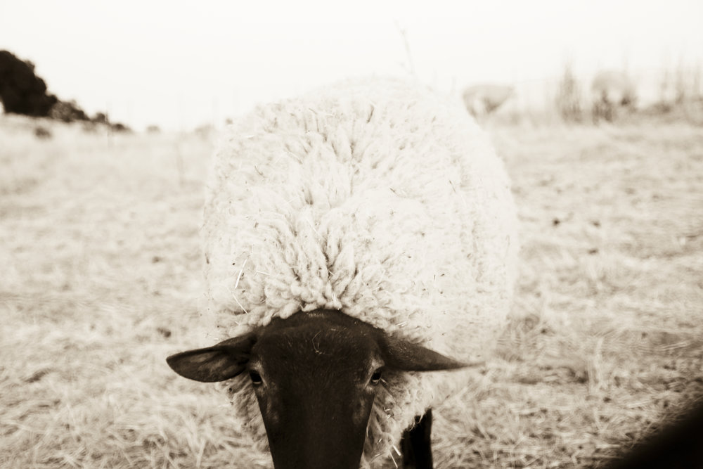 Copy of Sonoma Mtn Sheep ©2017 Lisa Berman