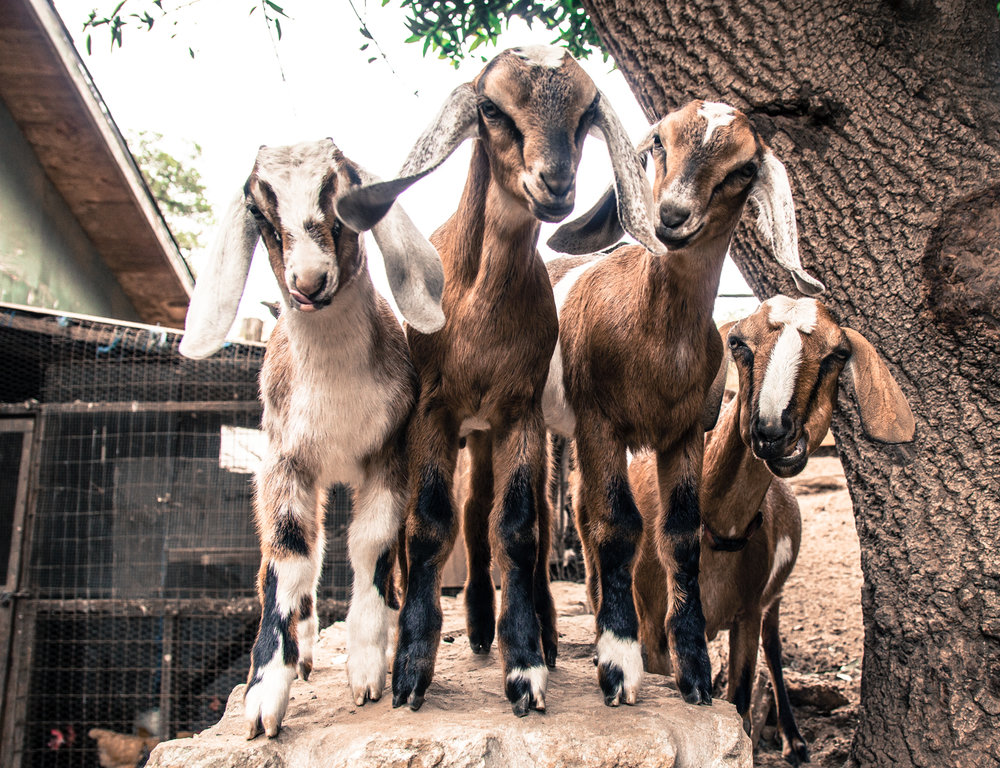 Goats_Rancho Rico ©2018 Lisa Berman
