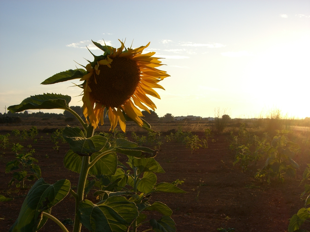 sun setting with a sunflower Formentera