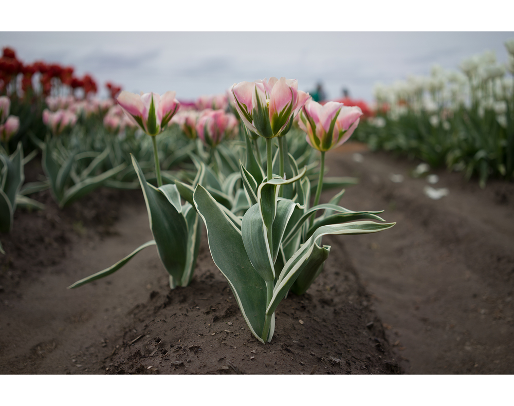 Tulips 4.jpg