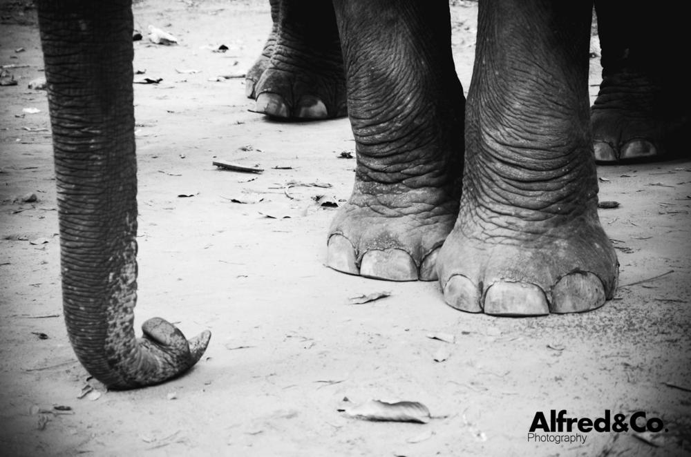 Elephant, Angkor Wat - Cambodia. Alfredandcophotography.co.uk