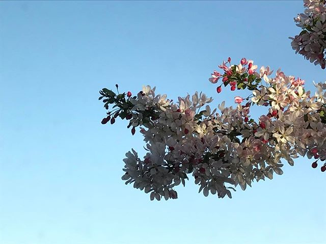 Shpring. #Love #This #Weather #beautiful #happy #photography #smile #spring #michigan #instalike #nofilter #nofilterneeded #tree #pretty #blue #sky #like #photo #buds #flowers #heaven #calm #peaceful #instagood