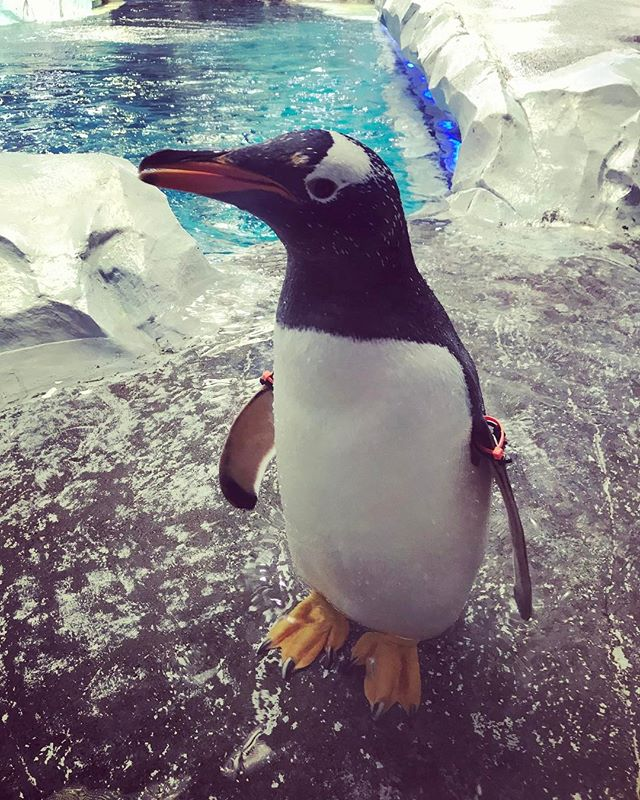 I love them. ❤️🐧 . . . . . #Penguin #Zoo #Detroit #Love #Cute #Pet #smile #fun #happy #penguins #adorable #walk #instapenguin #instagram #photo #photography #animalkingdom #swim #chill