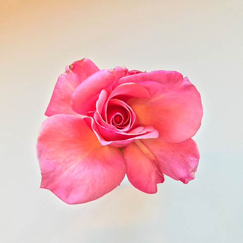 Rossi Garden Rose