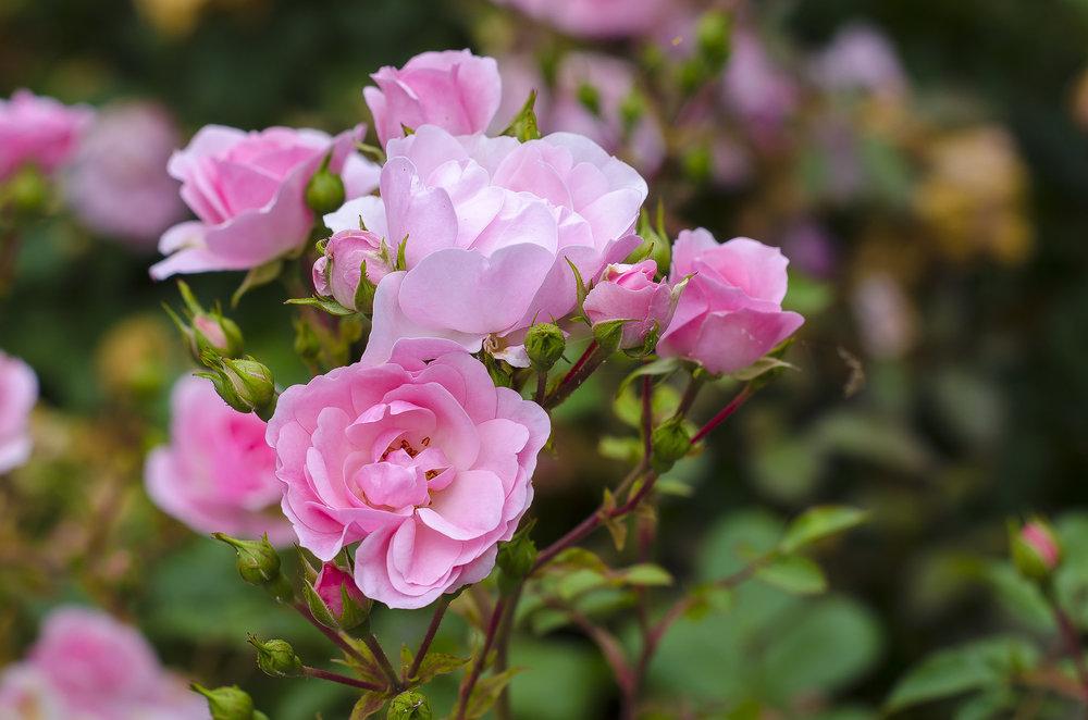 UBC Wesbrook Village Roses