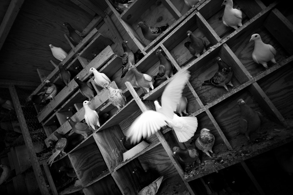 pigeon003.jpg