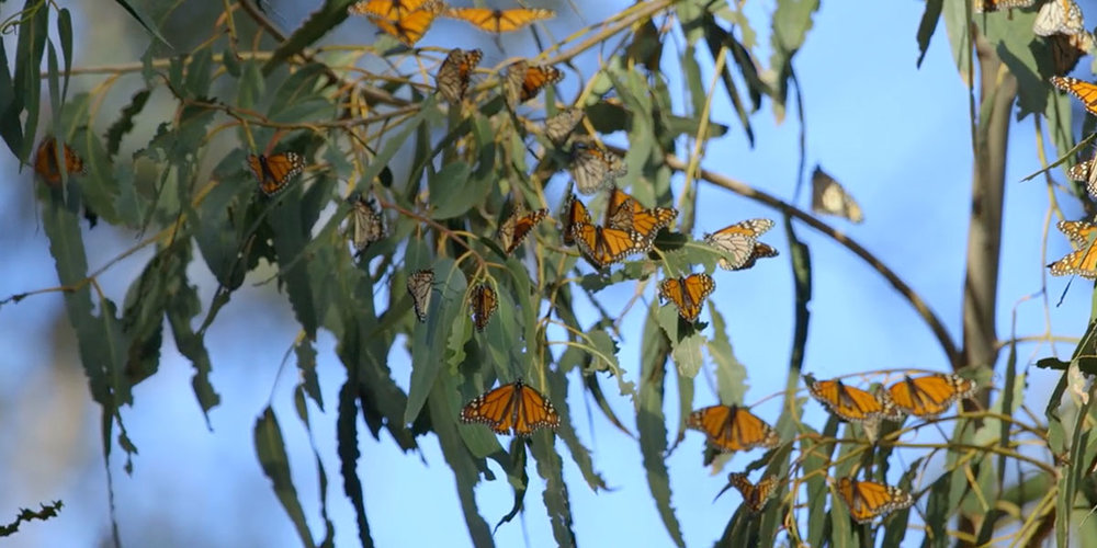 Monarch Butterflies are only able to fly when temperatures rise above 55 degrees as seen here where they are warming themselves in the sun at Pismo State Beach Monarch Butterfly Grove.